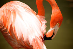 Pink Flamingo. A Pink Flamingo fixes it's feathers Stock Photography