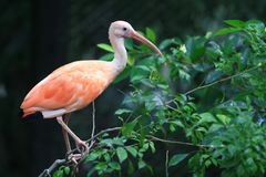 The Pink flamingo Royalty Free Stock Photos