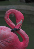 Pink Flamingo. Looking at us royalty free stock images