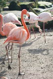 A pink flamingo. Standing on one leg stock images