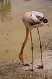 Pink Flamingo. Grazing on muddy shoreline Royalty Free Stock Images