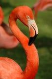Pink Flamingo stock image