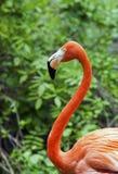 Pink Flamingo. A single flamingo against a lush green background Stock Image