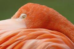 Free Pink Flamingo Stock Photos - 2240753