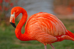Pink flamingo. At the zoo Royalty Free Stock Images