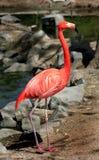 Pink flamingo Stock Photo