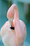 Pink Flamingo. Picture of a pink flamingo from the caribbean Royalty Free Stock Photography