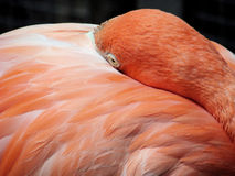 Pink Flamingo. A close up on a resting pink Flamingo Royalty Free Stock Photography