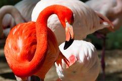 Pink flamingo. Colorful pink flamingo at the zoo Stock Photo