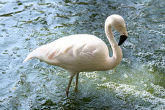 Pink flamingo. Alone standing in the water Royalty Free Stock Image