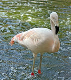 Pink flamingo. Alone standing in the water Royalty Free Stock Images