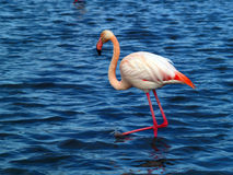 Pink flamingo. S  in Camargue National Park, France. (unesco world heritage site). Camargue, an alluvial plain in the Rhône delta is the only delta of its size Royalty Free Stock Photography