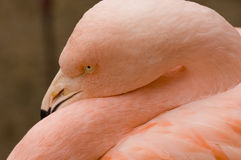 Pink flamingo. Trying to sleep royalty free stock photography
