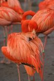 Pink flamingo. A pink (orange) flamingo maintaining its feathers. In the background (blurred) other flamingo's Stock Image