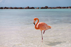 Pink flamingo. Beautiful pink flamingo standing on the beach Royalty Free Stock Photography