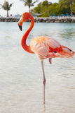 Pink flamingo. Beautiful pink flamingo standing on the beach Stock Images