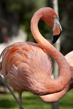 Pink flamingo. Royalty Free Stock Photography