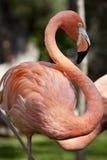 Pink flamingo. Pink flamingo, beautiful bird royalty free stock photography