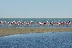 Pink flamingo Stock Images