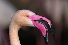 Pink flamingo. Detail of flamingo head with blurry background Stock Image