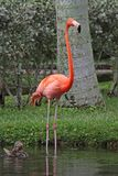 Pink Flamingo. Florida pink Flamingo with duck in the water royalty free stock photo