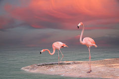 Pink flamingo. (coast landscape, birds royalty free stock images
