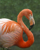 Pink flamingo. On green background Royalty Free Stock Photo