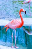 Pink flamingo. / animal, bird, creature Royalty Free Stock Photo