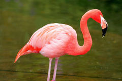 Pink flamingo. Taken at toronto zoo Stock Photo