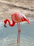 Pink flamingo Stock Photos