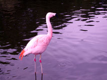 Pink flamingo. Close up of pink flamingo standing in water Stock Photo