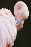 Pink flamingo. Making toilet on black background Royalty Free Stock Photos