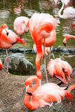 Pink flamingo. The pink flamingo with flock in zoo Royalty Free Stock Photography