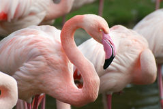 Pink flamingo. With exceptional pink beak Royalty Free Stock Images
