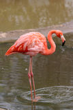 Pink Flamingo. And water surface Stock Photo