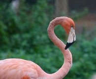 Pink Flamingo Against Soft Green Background - Image stock photo