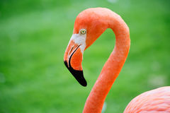 Pink Flamingo Stock Image