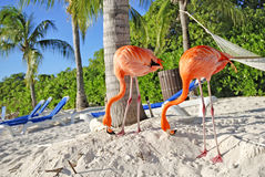 Pink flamingo, Aruba. Pink flamingos on the beach, Aruba island Royalty Free Stock Images