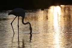 Pink flamingo, back light on sunset stock images