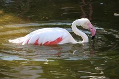 Pink Flamingo Bathing Stock Photos