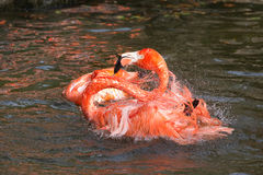Pink Flamingo Bathing & Splashing Royalty Free Stock Photos