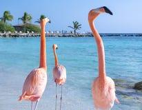 Pink flamingo on the beach, Aruba island. Caribbean tropical background, pink flamingos in Aruba island, Caribbean sea Stock Image
