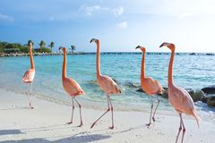 Pink flamingo on the beach, Aruba island Royalty Free Stock Photos