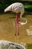 A  pink flamingo Stock Image