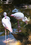 Pink flamingo Royalty Free Stock Photos