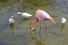 Pink Flamingo bird Stock Photography