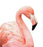 Pink flamingo bird. Close up of pink flamingo bird isolated on white background Royalty Free Stock Images