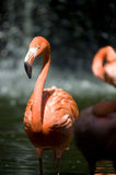 Pink Flamingo bird Stock Image