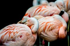 Pink flamingo bird bathing in the sun Royalty Free Stock Photo