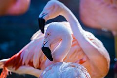 Pink flamingo bird bathing in the sun Stock Photography